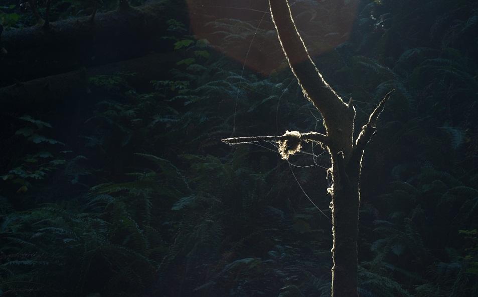 redwoods-np1