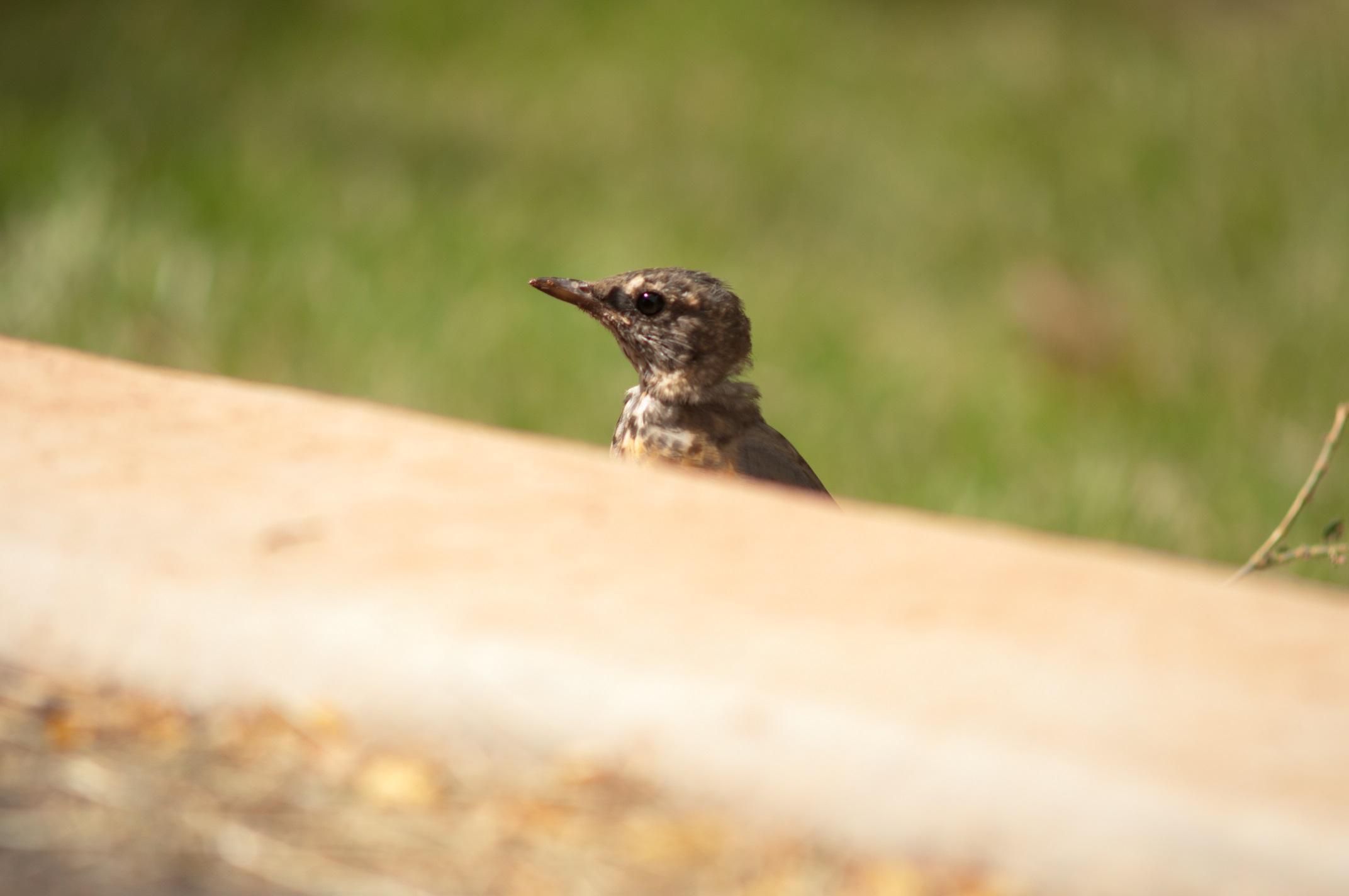oiseaucapitolreef
