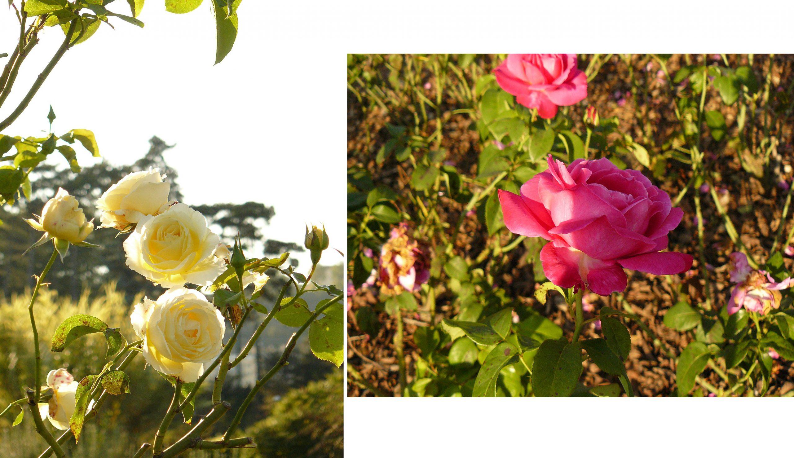 roseraie-lyon-tete-dor